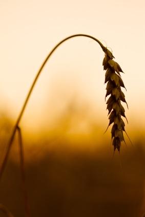 Celiac and Wheat