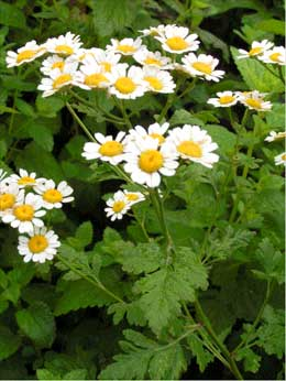 Feverfew Herbal Benefits