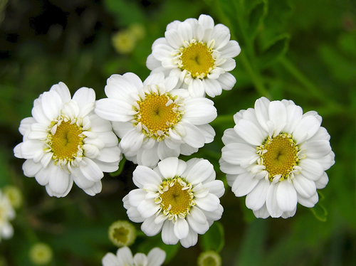 Feverfew Herbal Uses