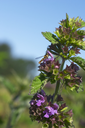 Horehound Information