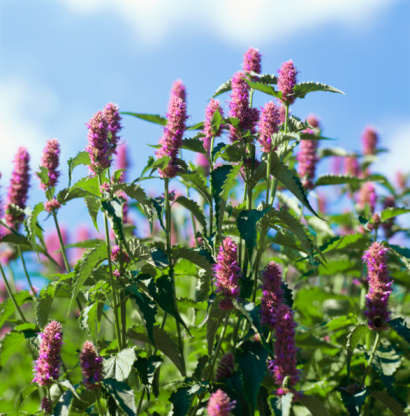 Hyssop Herbal Supplements