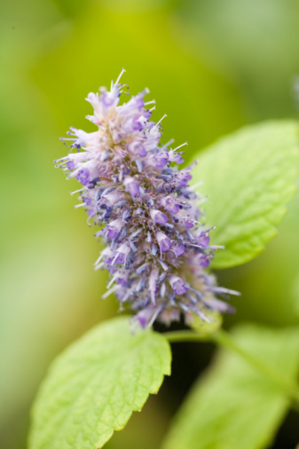Hyssop Usage & Preparation