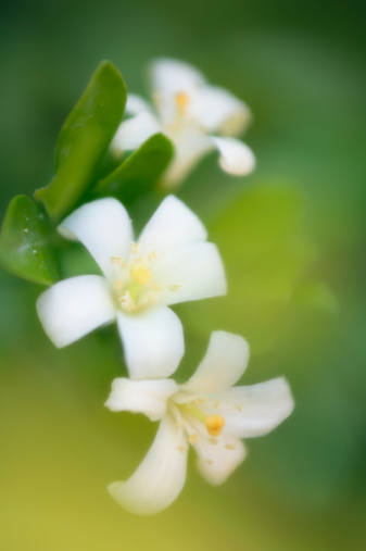 Benefits of Jasmine