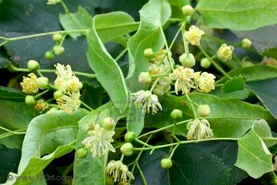 Lime Blossom Herbal Uses