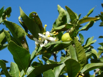 History of Lime Blossom
