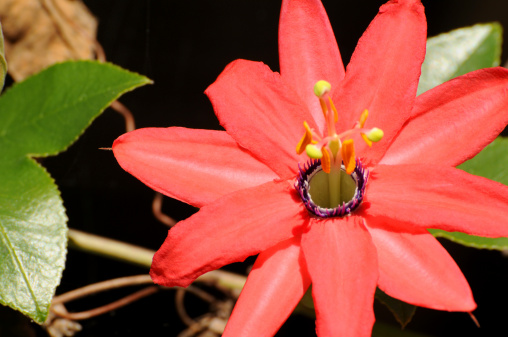 Passion Flower History