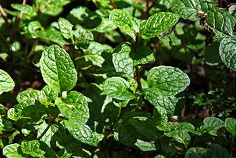 Peppermint Treatment Benefits
