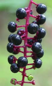 pokeweed plant