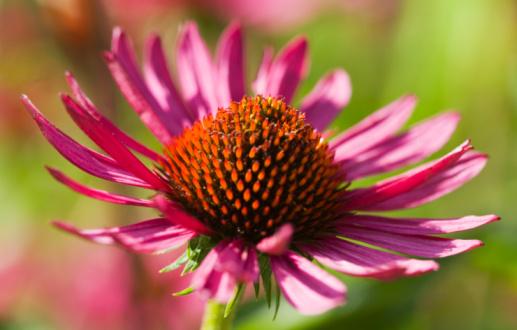 Types of Echinacea