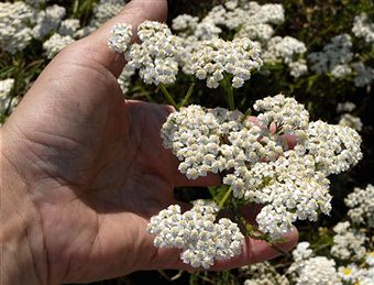 yarrow health remedies