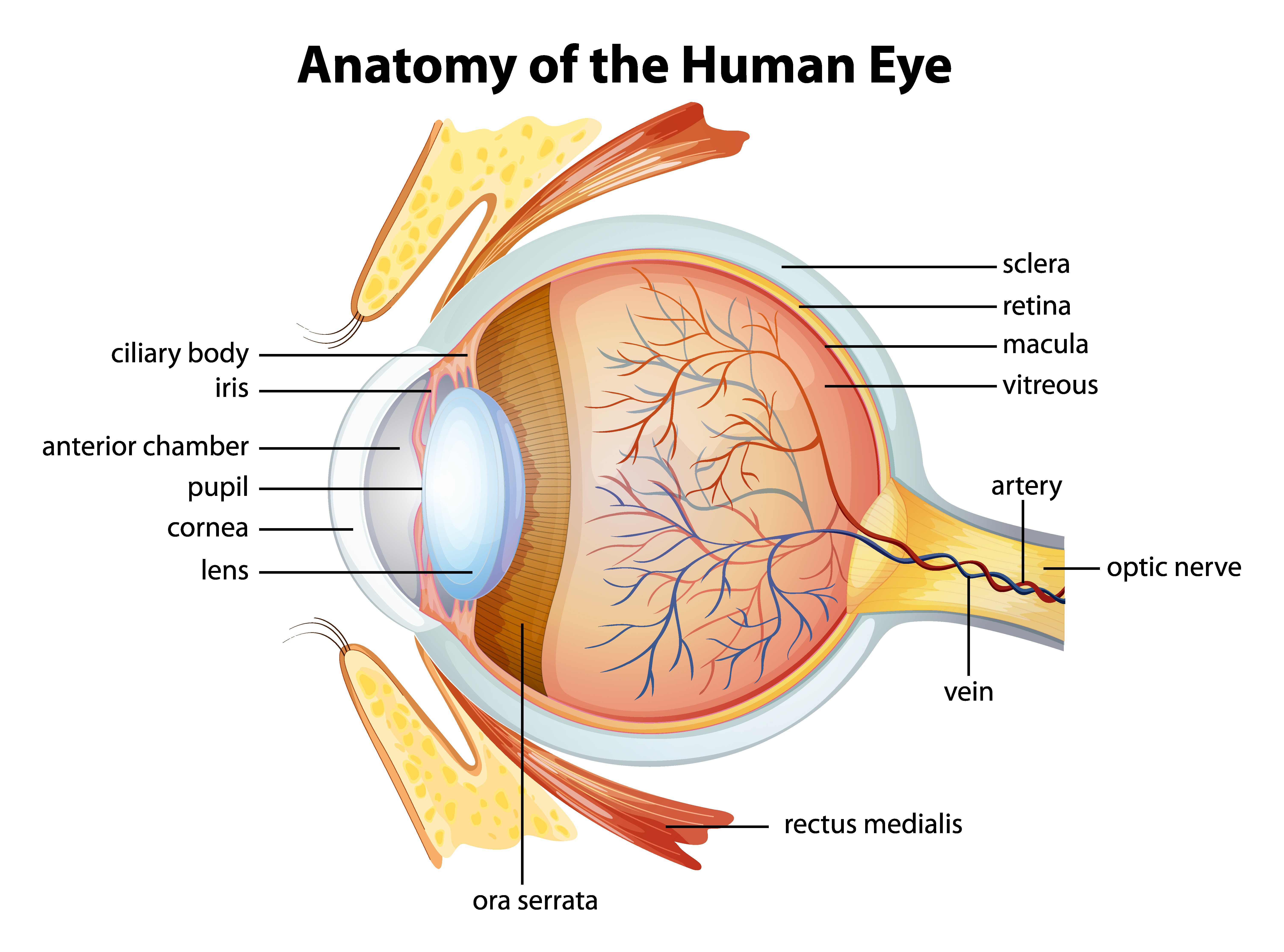 anatomy of rape causes and remedies Sinusitis means your sinuses are inflamed the cause can be an infection or another problem your sinuses are hollow air spaces within the bones surrounding the nose.