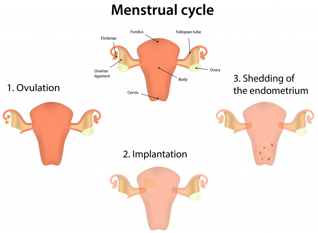 Menstrual Cycle.