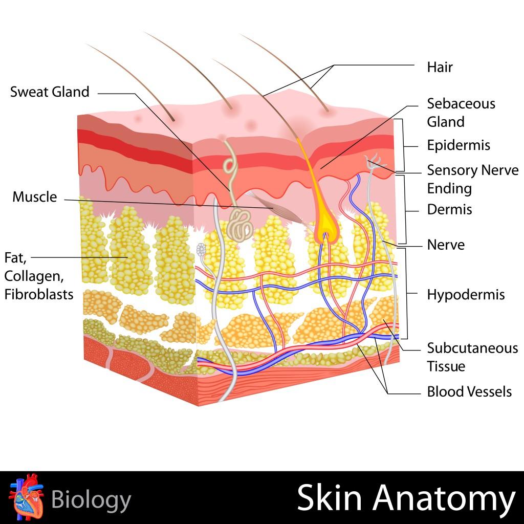 Human Skin Anatomy.